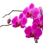 Orchidflowers avatar