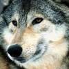 alphawolf1 avatar