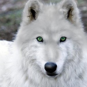 bluewolf avatar